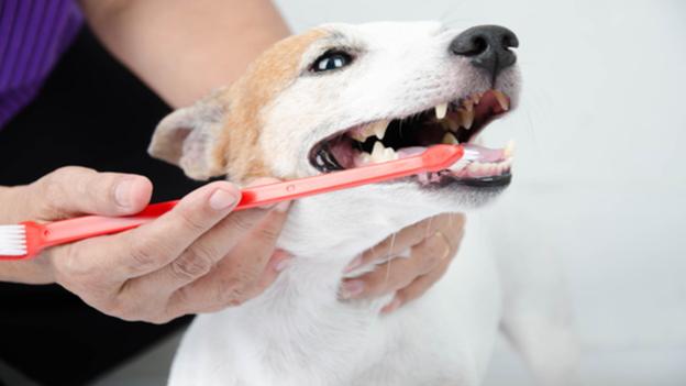 dog dental hygiene tips from metropolitan veterinary hospital in tacoma washington